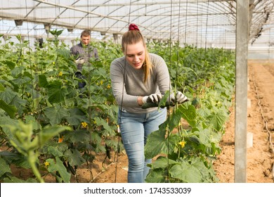 Young female farm worker gathering crop of organic cucumbers cultivar in hothouse. Spring harvest time