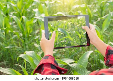 Young female farmer agriculture farm corn plantation check test take photos collect compare data with knowledge from Internet with tablet devices.Smart farmming tecnology data comunication concept