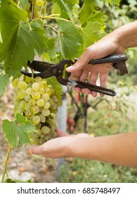 Young female farmer picking ripe grapes