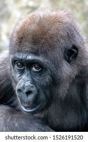 A young female gorilla close up