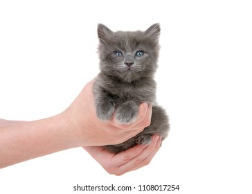 Young female hands holding an adorable small grey kitten with blue green eyes isolated on white background.