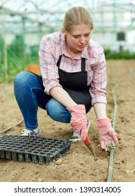 Young female horticulturist   in apron and gloves  planting green seedlings in  hothouse