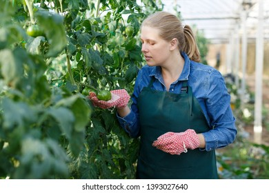 Young female horticulturist   in apron and gloves working with tomatoes seedlings in  hothouse
