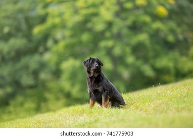 Young female Hovawart dog on perfect green background. Image with space for a text