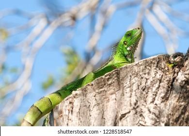 young female Iguana iguana, Guadeloupe, French West Indies.