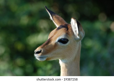 A young female impala antelope wild in South Africa.