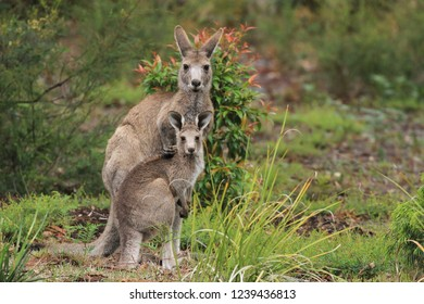 Young female kangaroo with a joey by her side in Gippsland Australia