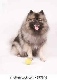 A young female keeshond dog with her tennis ball against white