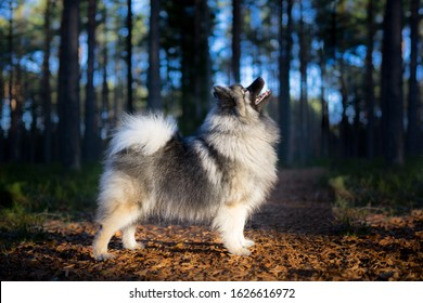 Young female Keeshond Spitz in proud show standing. Medium sized breed. Wolfspitz in the forest looking up, tale curled over the back.