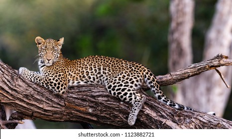 Young Female Leopard at Dawn, Botswana