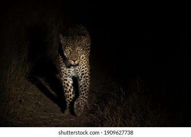 Young female leopard on a nightly patrol