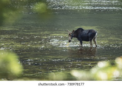 A young female moose feeds on water plants from a river at the Jacques-Cartier provincial park, north of Quebec City, in Quebec, Canada on Thursday, August 3, 2017.