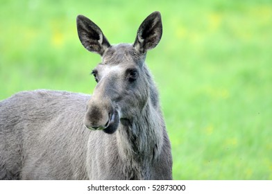 Young female moose in the wild