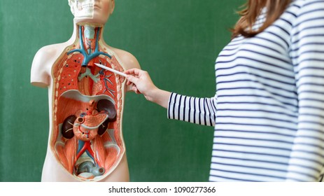 Young female teacher in biology class, teaching human body anatomy, using artificial body model to explain internal organs. Finger pointing to blood vessels system.