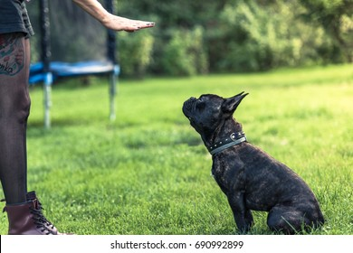 Young female teaching French Bulldog obedience in home garden
