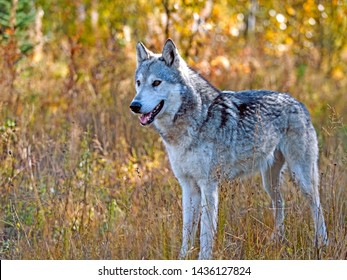 Young female Timber Wolf staning  in meadow of autumn colors