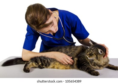 young female vet examining large Maine Coon cat