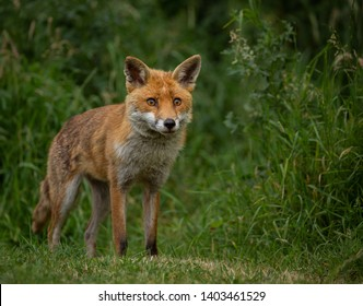 Young female Vixen Red Fox standing in a grassy field with grass in the background.