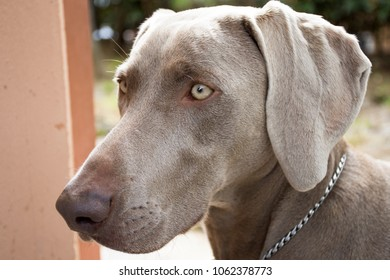 Young female weimaraner dog