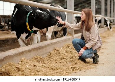 Jeune ouvrière d'une grande ferme animale assise sur des squats par paddock avec du bétail pur et du nez touchant de la vache à lait noir et blanc