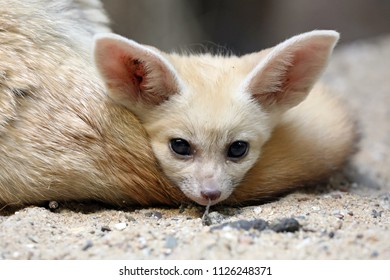 Young Fennec close-up