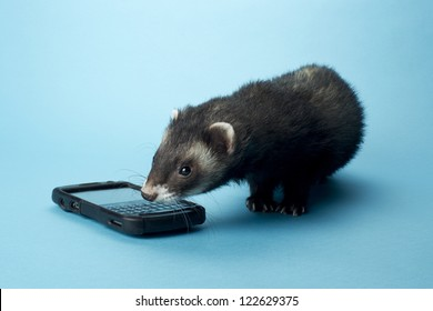 Young ferret smelling a cellphone