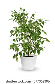 young Ficus benjamina kinky a potted plant isolated over white