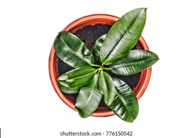 Young ficus in a flowerpot isolated on a white background Top view. Close-up.