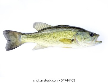 A young fingerling fresh water largemouth bass.