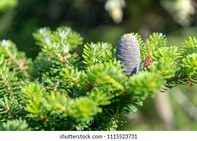 Young fir cones on a spring tree in May. Shallow depth of field