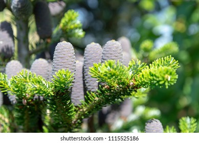 Young fir cones on a spring tree in May