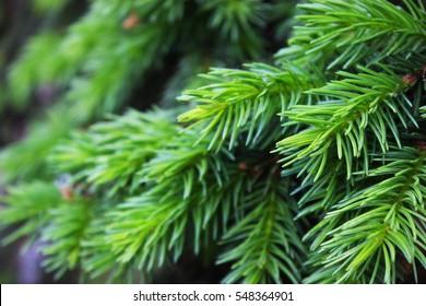 Young fir needles. Background
