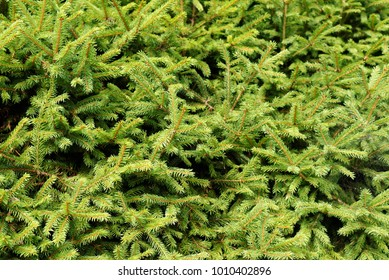 Young fir sprouts