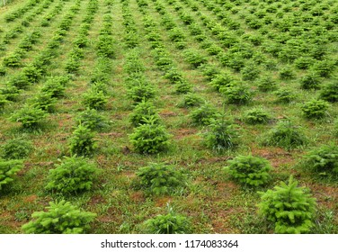 Young fir trees at a Christmas tree nursery