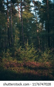 Young fir trees in forest in low sunlight.