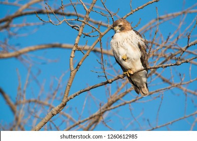 A young, first winter Red-tailed Hawk perched up in a tree looking down to the ground for potential prey. Tommy Thompson Park, Toronto, Ontario, Canada.