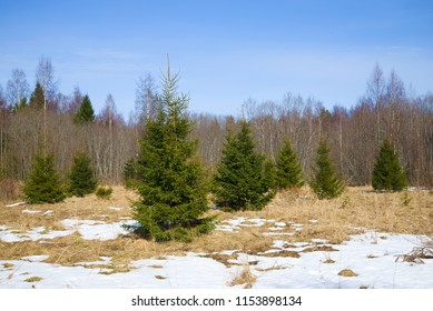Young fir-trees on edge of a spring forest. Nature of the Leningrad Region, Russia