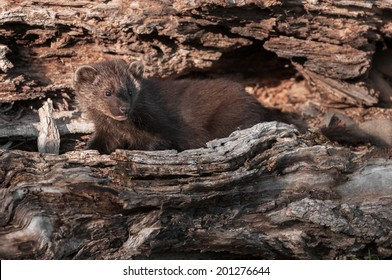 Young Fisher (Martes pennanti) Camouflaged in Log - captive animal