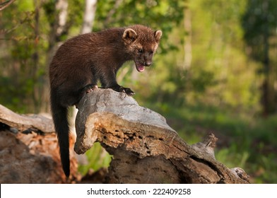 Young Fisher (Martes pennanti) Cries Out from Atop Log - captive animal
