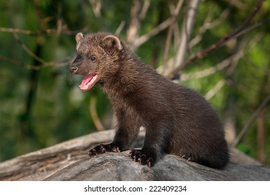 Young Fisher (Martes pennanti) Mouth Open Turned Left - captive animal