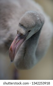 Young Flamingo Bird close-up shallow depth of field with focus on bird's eye
