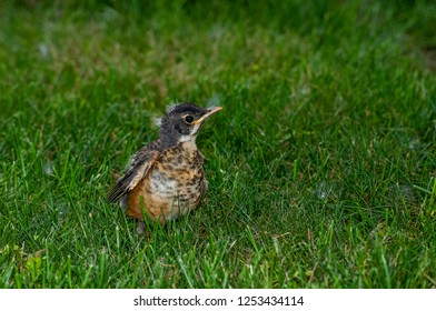 A young fledgling American Robin (Turdus migratorius) standing on a lawn.  At this age they still cannot fly well and depend on the parents for food.