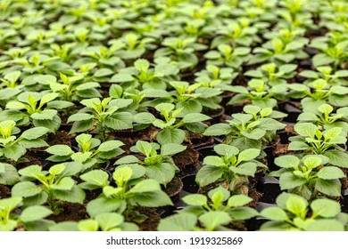 Young flower plants growing in a greenhouse. Flower plant nursery