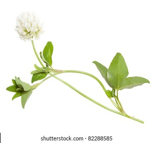 Young flower of white clover isolated on white background