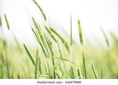 Young flowering spikes of barley close-up in field