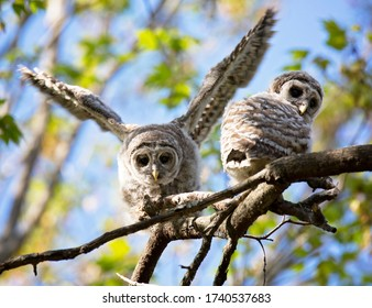Young, fluffy, barred owlet pair, perch on a branch,  preparing to fledge.  Springtime in Wisconsin.