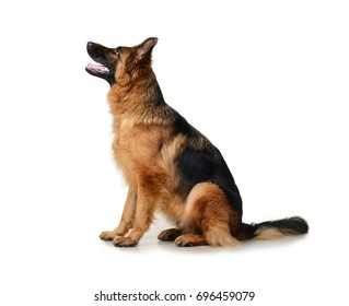 Young Fluffy German Shepherd Dog in exhibition standing against white background. Purebred dog in rack.
