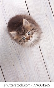 Young fluffy kitten looking up