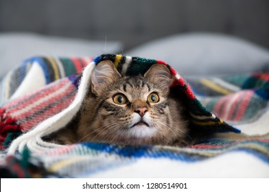 Young Fluffy Tabby Cat Hiding in Wooly Blanket