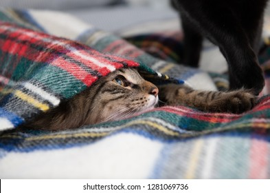 Young Fluffy Tabby Cat Hiding Under Wooly Blanket